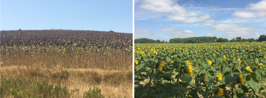 On the left: Sunflowers in Spain. On the right: Sunflowers in France.